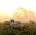Beautiful Rural sunrise with sheep Royalty Free Stock Photo