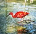 Beautiful Scarlet ibis (Eudocimus ruber) in water Royalty Free Stock Photo