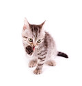 Beautiful Scottish young cat Stock Image