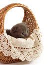 Beautiful scottish young cat in basket Royalty Free Stock Photos