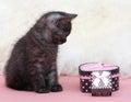 Beautiful scottish young cat and box Stock Image