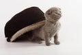 Beautiful scottish young cat grey Stock Photos