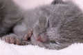 Beautiful scottish young cat grey Royalty Free Stock Photo