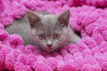 Beautiful scottish young cat on pink Royalty Free Stock Photos