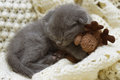 Beautiful scottish young cat and toy Stock Images