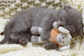 Beautiful scottish young cat and toy Stock Photography