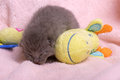Beautiful scottish young cat and toy Stock Image