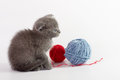Beautiful scottish young cat and toy Royalty Free Stock Photography