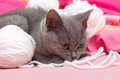 Beautiful scottish young cat and toy Stock Photos