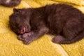 Beautiful scottish young cat on yellow Stock Photo