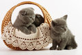 Beautiful scottish young cats in basket Royalty Free Stock Image