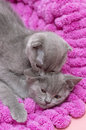 Beautiful scottish young cats on pink Stock Photography