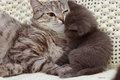 Beautiful scottish young cats two Royalty Free Stock Image