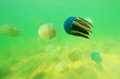 Beautiful sea jellyfish in the sea of thailand underwater view Royalty Free Stock Photo
