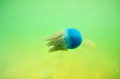 Beautiful sea jellyfish in the sea of thailand underwater view Stock Images