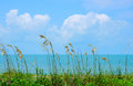 Beautiful sea oats along ocean shoreline Royalty Free Stock Photo