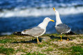 Beautiful seagulls on the shore near the sea in sunlight strong Royalty Free Stock Photo