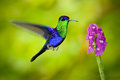 Beautiful shiny tropic green and blue bird, Crowned Woodnymp, Thalurania colombica, flying next tu pink bloom flower, glossy anima Royalty Free Stock Photo