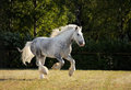 Beautiful shire draft horse stallion galloping in corral Royalty Free Stock Images