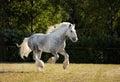Beautiful Shire draft horse stallion Royalty Free Stock Photo