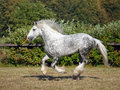 Beautiful shire draft horse stallion galloping in corral Stock Photos