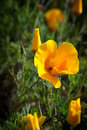 Beautiful shot of an orange California Poppy Stock Photo