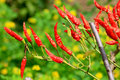 Beautiful shot of red hot chillies Royalty Free Stock Images