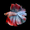 Beautiful siamese fighting fish betta fish isolated on black Royalty Free Stock Image