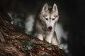 Beautiful Siberian Husky dog like a wolf Royalty Free Stock Photo