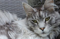 Beautiful silver pedigree maine coon cat cleaning itself Royalty Free Stock Image