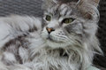 Beautiful silver pedigree maine coon cat cleaning itself Stock Photography