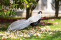 Beautiful Silver Pheasant (Lophura nycthemera) Royalty Free Stock Photo