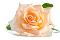 Beautiful single cream rose lying down on a white background Royalty Free Stock Photos