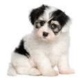 A beautiful sitting white spotted havanese puppy dog Royalty Free Stock Photo
