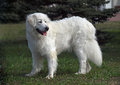 Beautiful slovakian chuvach dog
