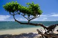Beautiful  small heliotrope  tree at Anini beach Royalty Free Stock Photos