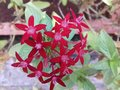 Beautiful small red flowers close up