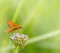 Beautiful small yellow butterfly on a flower Royalty Free Stock Photography