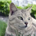 beautiful smart cat is looking, portrait Royalty Free Stock Photo