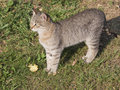 Beautiful smart gray-brown cat Royalty Free Stock Photo