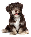 A beautiful smiling chocholate havanese puppy dog Royalty Free Stock Photo