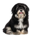 Beautiful smiling happy havanese puppy dog Stock Images