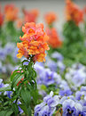 Beautiful snapdragon antirrhinum majus flower in park Stock Photos