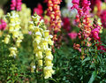 Beautiful snapdragon flowers Royalty Free Stock Photo