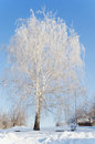 Beautiful snow covered birch in winter day against the blue sky Stock Photos