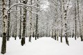 Beautiful snow covered branches of birch grove in russian winter Royalty Free Stock Photo