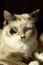 Beautiful snowshoe-ragdoll kitten Stock Image