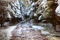 Beautiful snowy fir forest and path with roots of trees