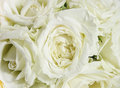 Beautiful soft white roses Royalty Free Stock Image