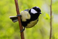Beautiful song bird with summer background. Great Tit, Parus major, black and yellow songbird sitting on the nice lichen tree bran Royalty Free Stock Photo